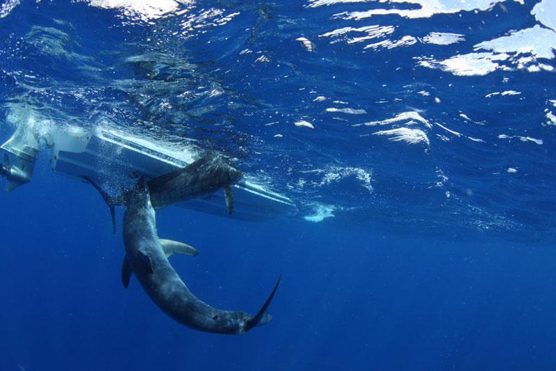 underwater photos of mako shark attacking marlin 4 Rare Underwater Photos of a Shark Attacking a Marlin