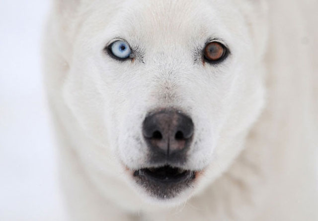 animals with different colored eyes 20 Animals with Two Different Colored Eyes