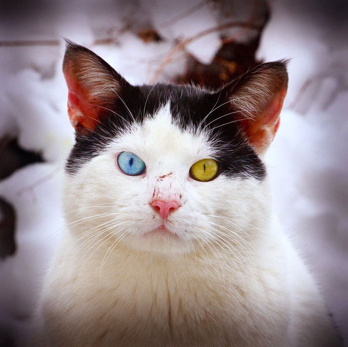 Cats With 2 Different-Colored Eyes - Petful