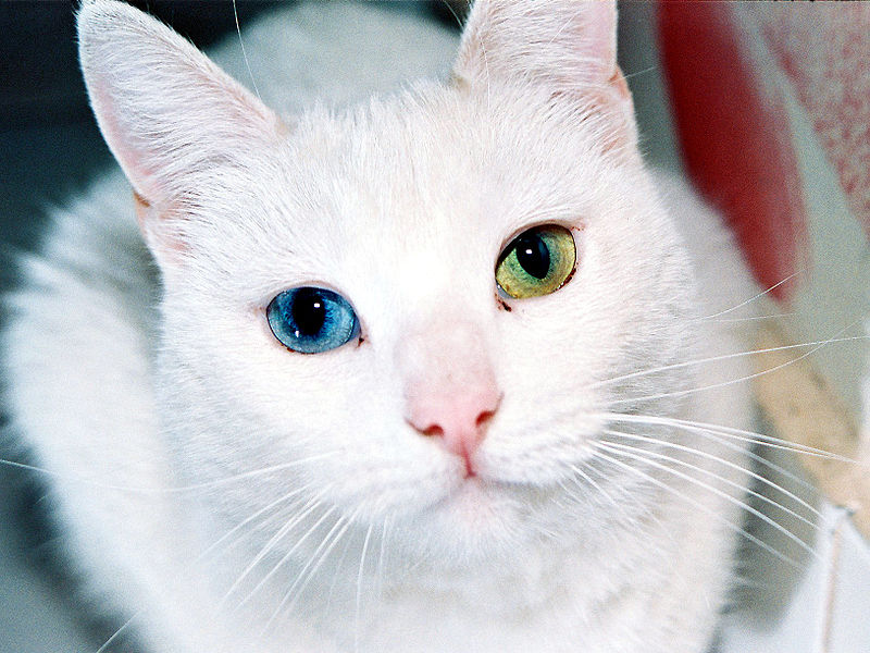 cat with two different colored eyes The Daily Life of a Grandmother and Her Cat