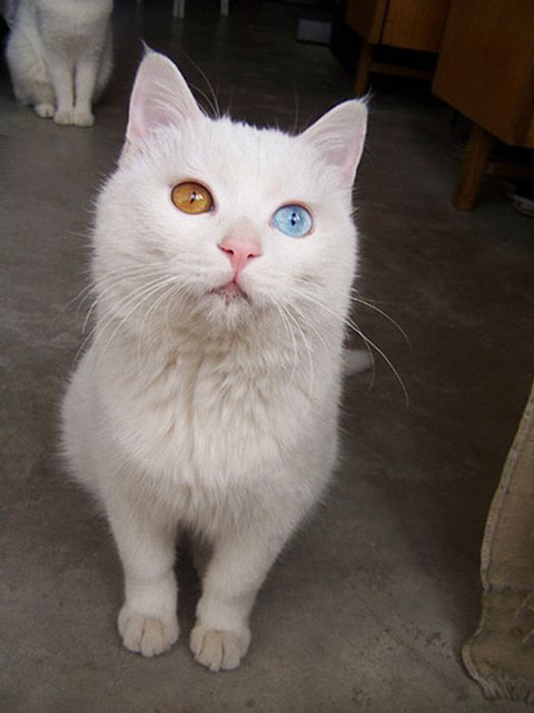 cat with two eyes colors heterochromia 20 Animals with Two Different Colored Eyes