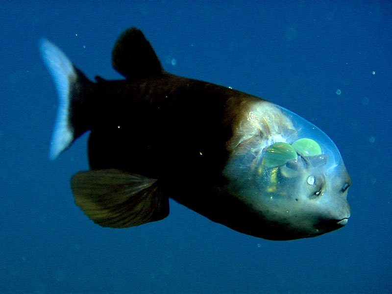 fish with transparent head barreleye spook fish 1 The Giant Isopod