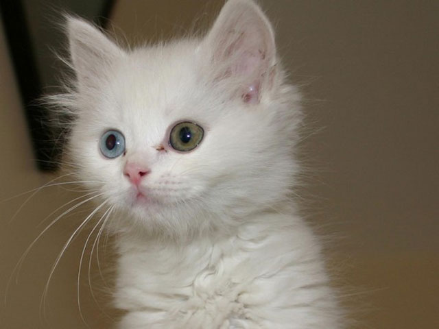 kitten with different colored eyes heterochromia 1 20 Animals with Two Different Colored Eyes