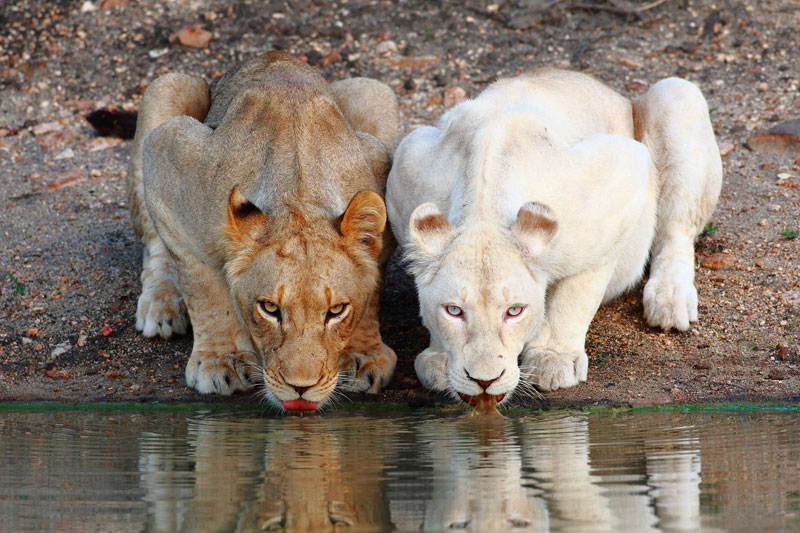 lionesses white lion drinking at the watering hole Picture of the Day: Lionesses at the Watering Hole