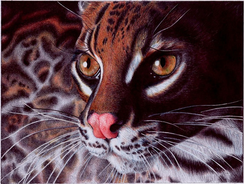margay cat   bic ballpoint pen by vianaarts Hyperrealistic Portraits Using Only Ballpoint Pens