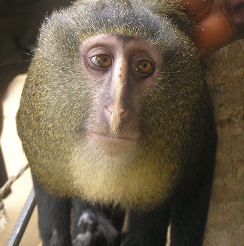 new monkey discovered in congo lesula cercopithecus lomamiensis 1 Fish Creates Beautiful Sand Art in the Name of Love