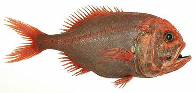 orange roughy 10 Animals that Lived Longer than the Oldest Known Human