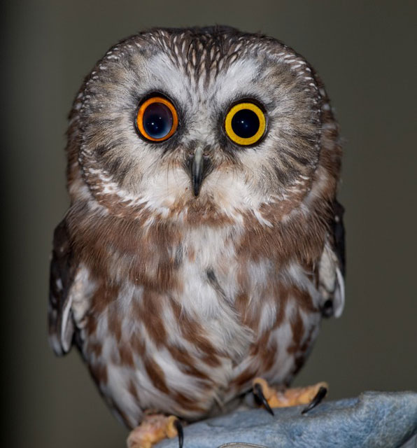 owl with different colored eyes 20 Animals with Two Different Colored Eyes