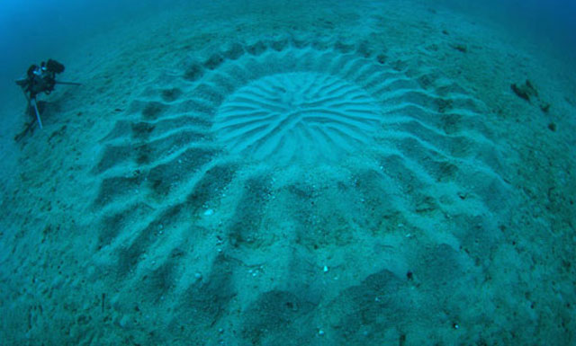 puffer fish creates circular patterns in sand on sea floor to attract females for mating 1 Volunteers Form Human Wall to Guide Baby Turtles to Sea