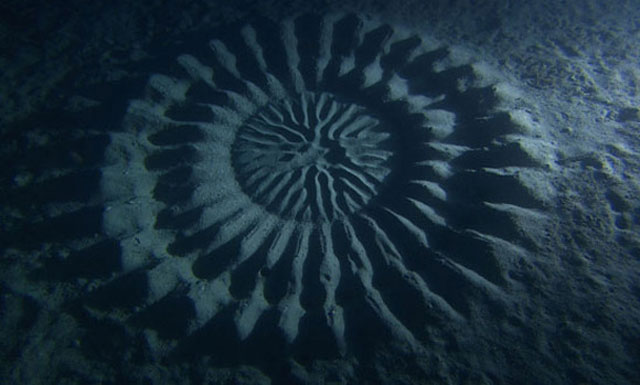 puffer fish creates circular patterns in sand on sea floor to attract females for mating 2 Fish Creates Beautiful Sand Art in the Name of Love