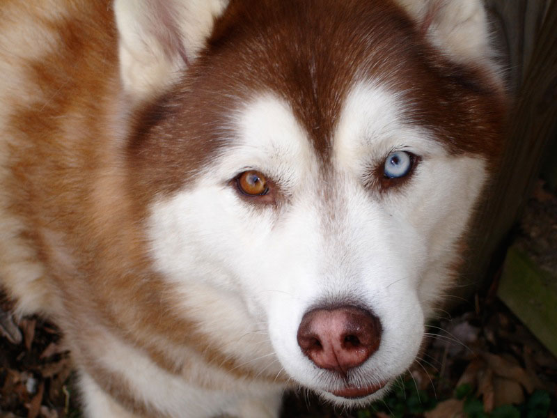 20 Animals with Two Different Colored Eyes TwistedSifter