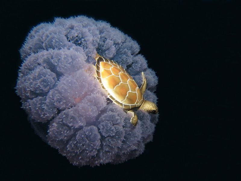 turtle riding a jellyfish Picture of the Day: Turtle Riding a Jellyfish