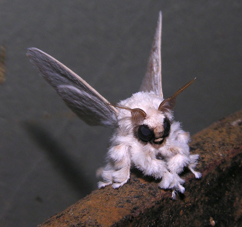 venezuelan poodle moth Picture of the Day: The Venezuelan Poodle Moth