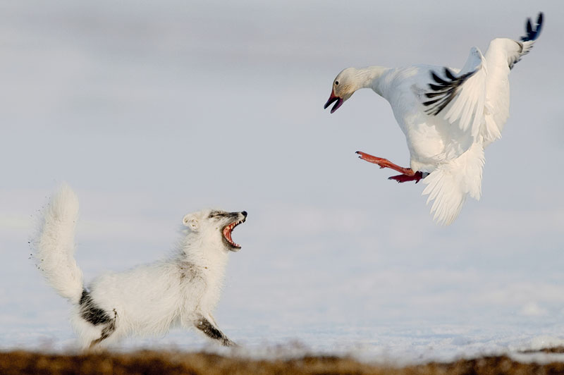 042 sergey gorshkov russia the duel Highlights from the 2012 Wildlife Photographer of the Year