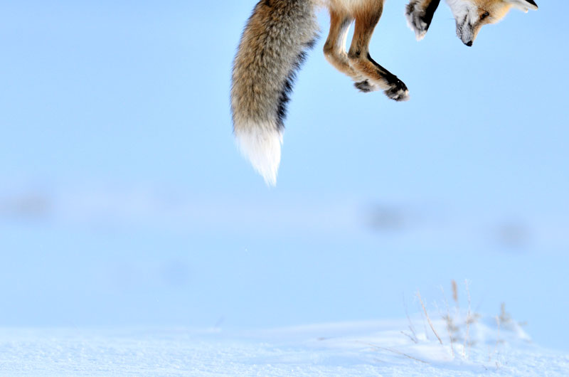 048 richard peters uk snow pounce Highlights from the 2012 Wildlife Photographer of the Year