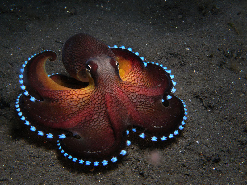 Picture of the Day: The CoconutOctopus