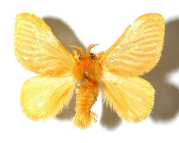 jewel caterpillar acraga coa moth 2 8 Photos of the Translucent Jewel Caterpillar