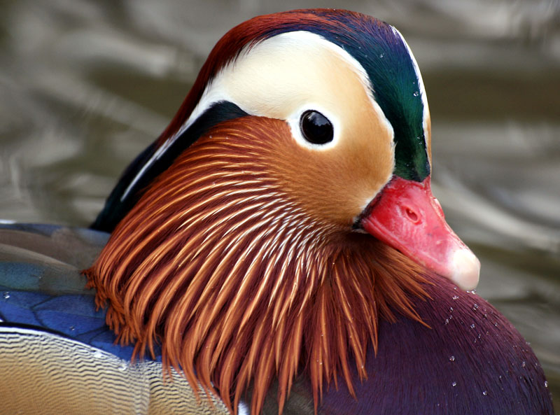 mandarin duck closeup The Worlds Most Colorful Duck