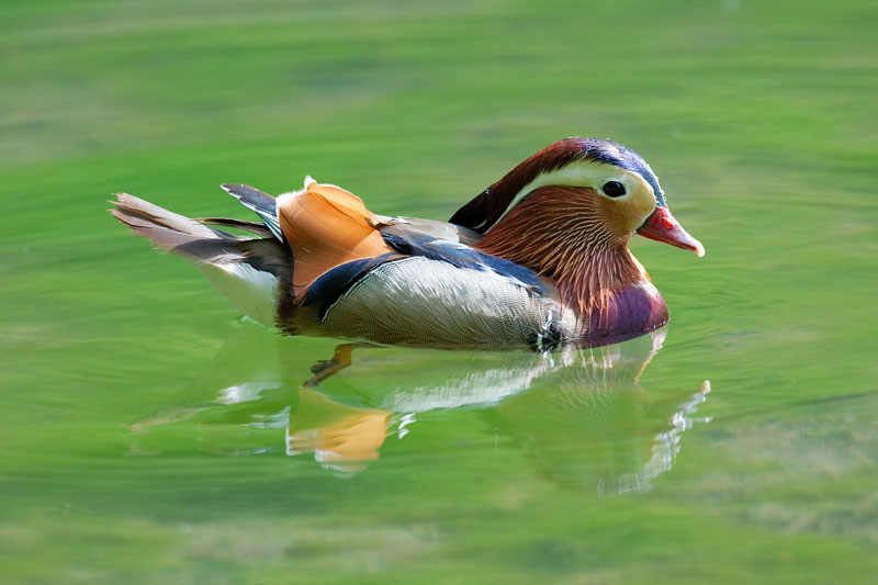 mandarin duck in water The Worlds Most Colorful Duck