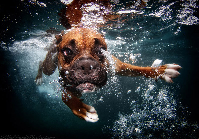 photo of dog underwater rex boxer 3years 10 Hilarious Portraits of Dogs Underwater