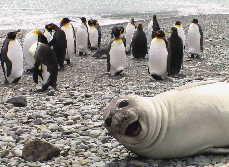 seal photobombs penguins Picture of the Day: ROFLMAO