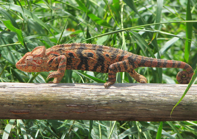 chameleon feet 10 Things You Didnt Know About Chameleons