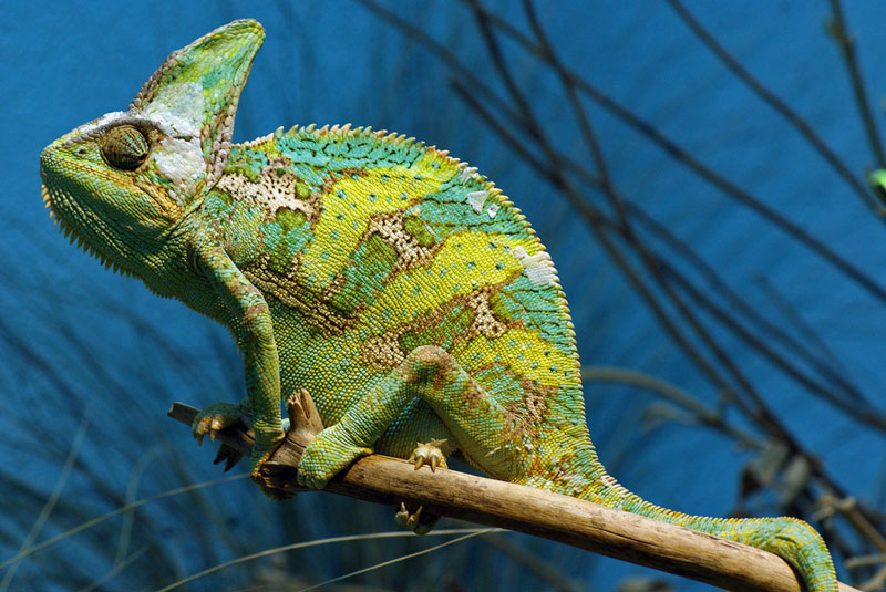 chamleon side profile 10 Things You Didnt Know About Chameleons