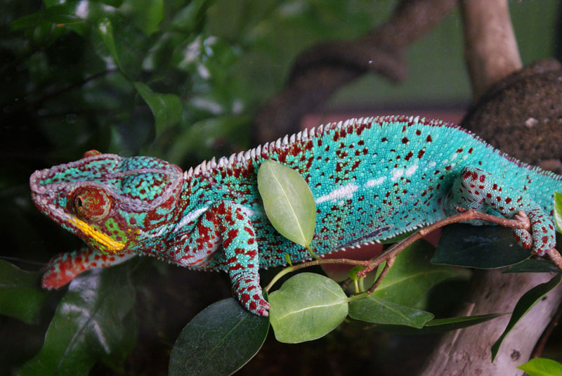 10 Things You Didn't Know About Chameleons «TwistedSifter