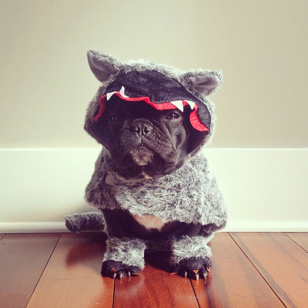 french bulldog dress up in costume instagram trotter 10 The Most Adorable French Bulldog on Instagram