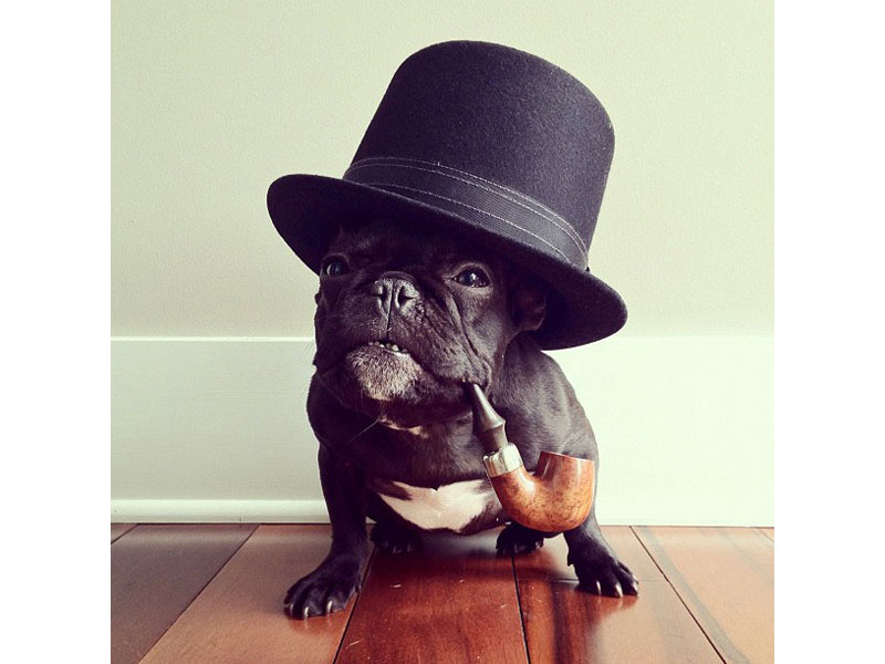 french bulldog dressed up the most adorable french bulldog on instagram 171 twistedsifter 6623