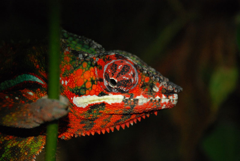 panther chameleon 10 Things You Didnt Know About Chameleons