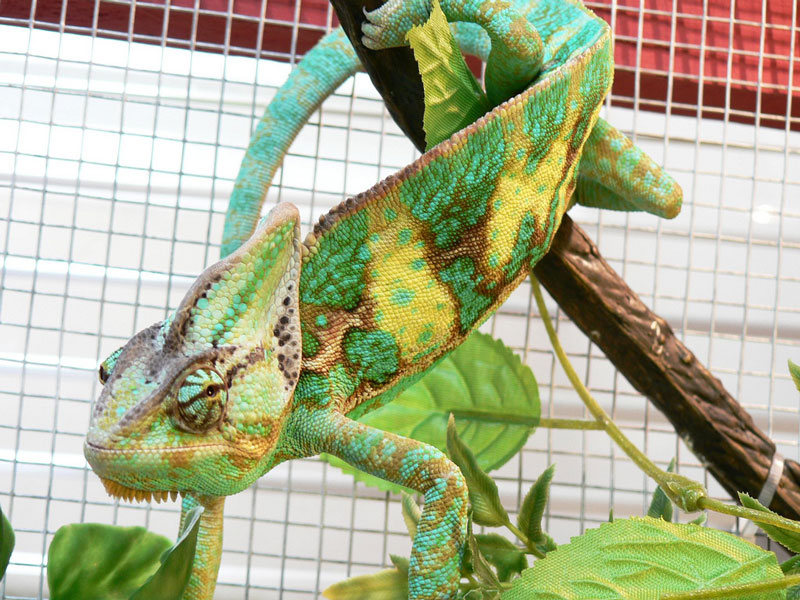 What to feed a veiled chameleon