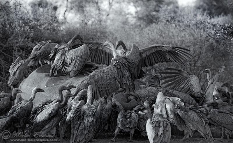 feasting-vultures-elephant-animal-carcass-black-and-white