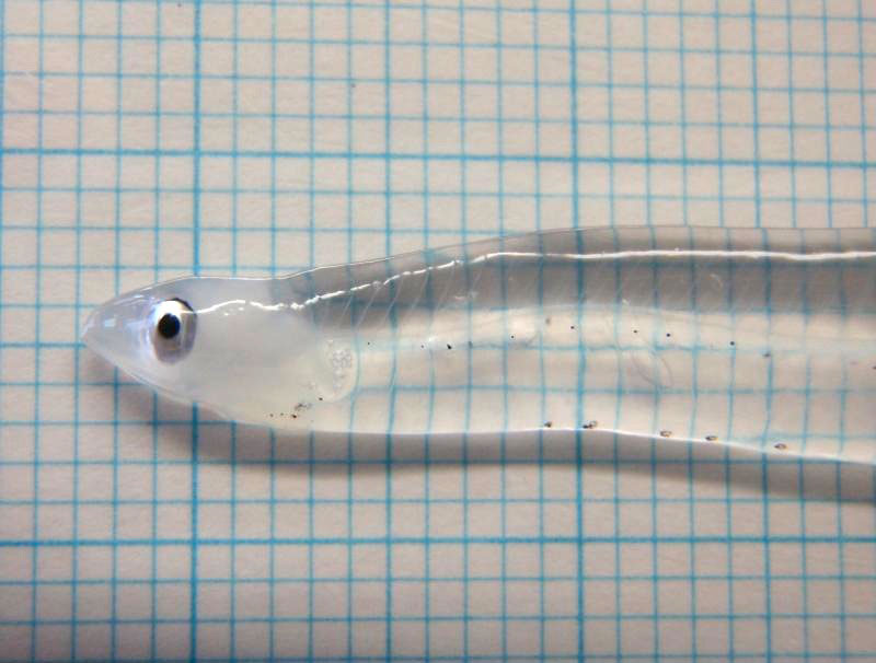 leptocephalus transparent larva eel fish Picture of the Day: Transparent Eel Larva