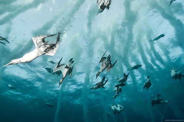 gannet bird dive hunting sardine bait ball south africa coast alexander safonov (1)