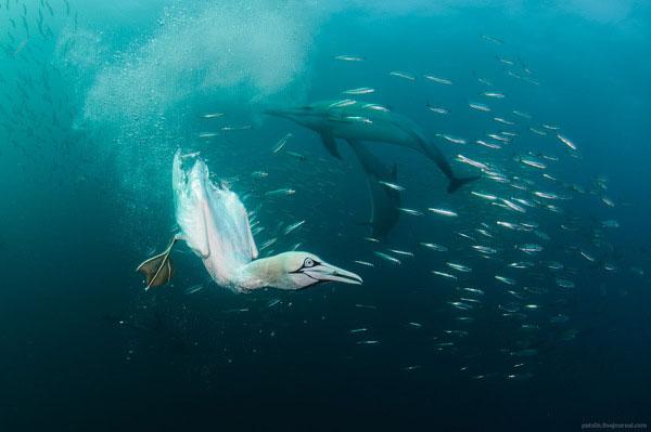 gannet bird dive hunting sardine bait ball south africa coast alexander safonov (4)
