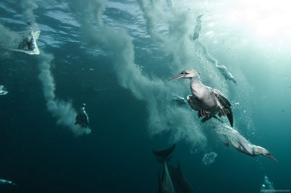 gannet bird dive hunting sardine bait ball south africa coast alexander safonov (5)