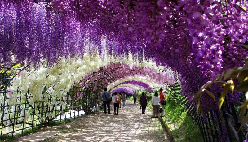 the wisteria flower tunnel at kawachi fuji garden «twistedsifter, Natural flower