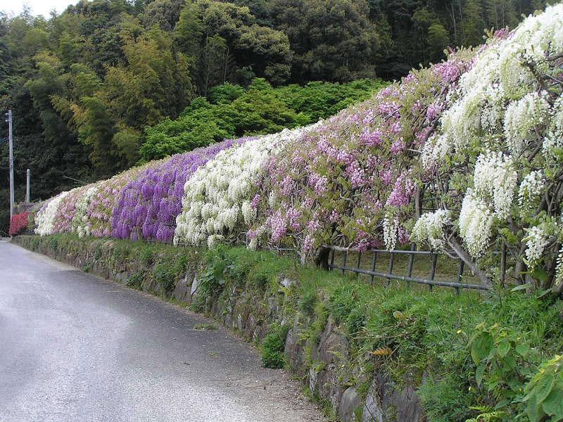 kawachi fuji garden kitakyushu japan wisteria (3)