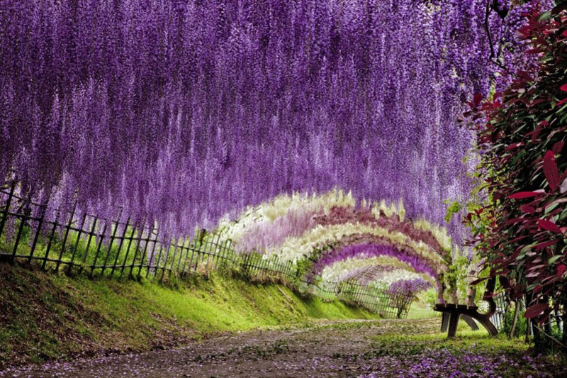 The Wisteria Flower Tunnel at Kawachi Fuji Garden ...