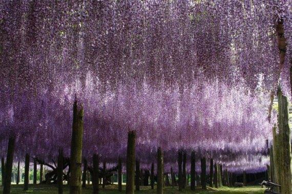 kawachi fuji garden kitakyushu japan wisteria (6)
