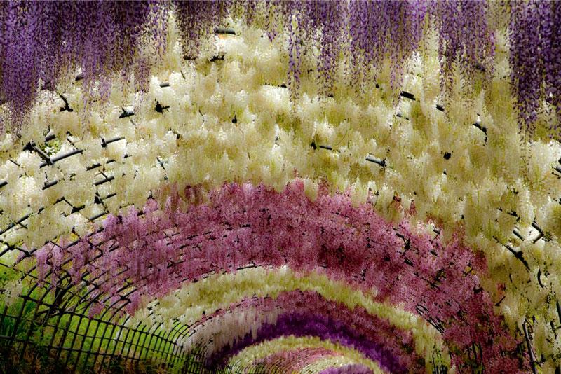 kawachi fuji garden wisteria tunnel kitakyushu japan (1)