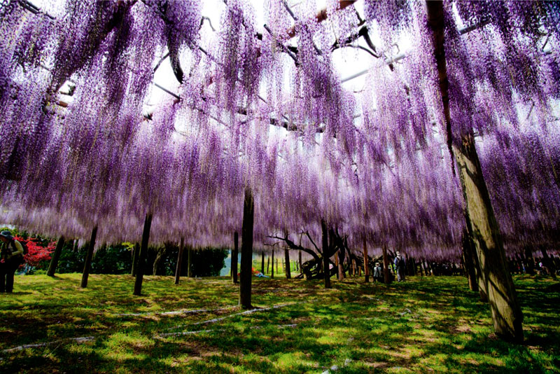 kawachi fuji garden wisteria tunnel kitakyushu japan (2)
