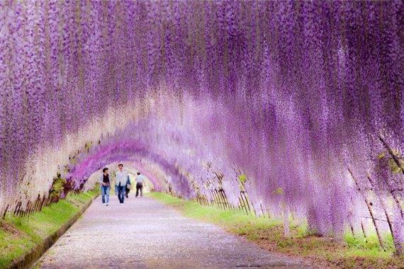 kawachi fuji garden wisteria tunnel kitakyushu japan (4)