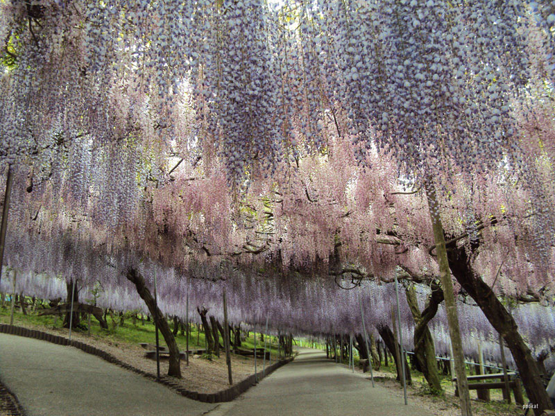 wisteria tunnel japan (2)