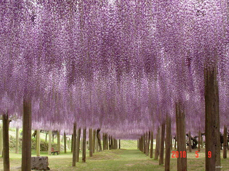 wisteria tunnel japan (3)