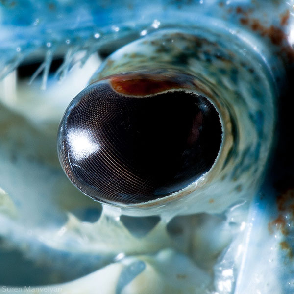 blue crayfish 10 Detailed Close Ups of Animal Eyes