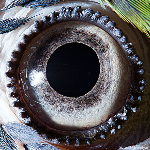 blue yellow macaw parrot close up of eye macro suren manvelyan 10 Detailed Close Ups of Animal Eyes