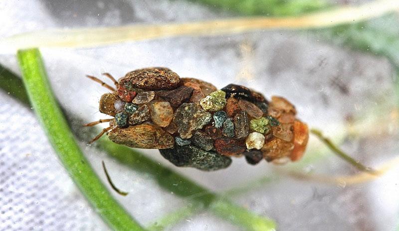 caddisfly-larvae-cases-(2)