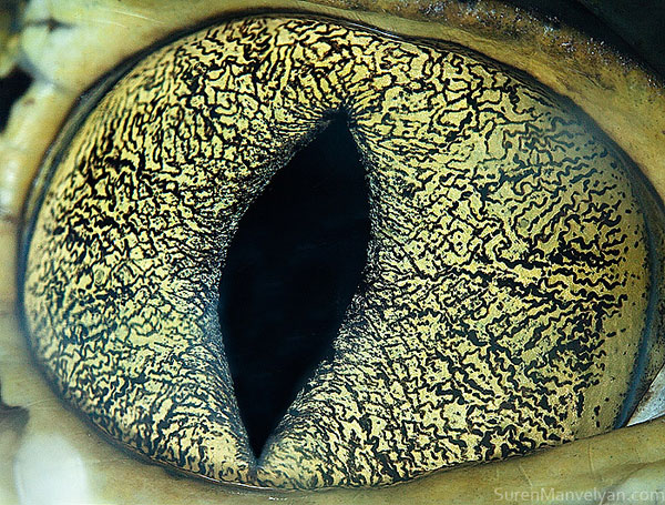 caiman-close-up-of-eye-macro-suren-manvelyan